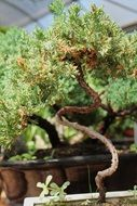 incredibly handsome Bonsai Tree