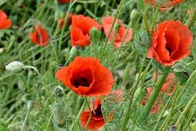 red poppies on a green meadow close-up