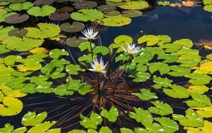 Water lilies blossom