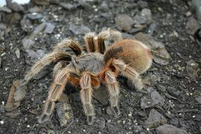 tarantula is a big hairy spider
