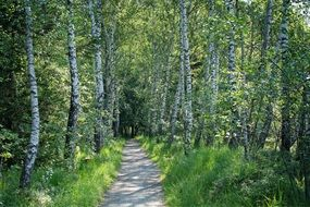 path through a birch grove