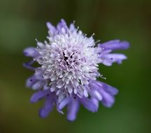 Scabious Purple