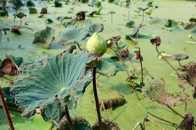 lotus in muddy green water