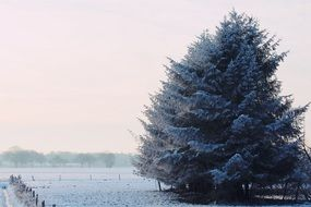 lush spruce among the winter landscape