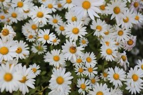lot of white Autumn flowers, background