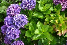 bush of purple hydrangea flowers