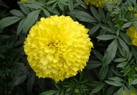 awesome Marigold Flower