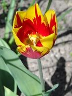 Yellow Red Tulip Blossom macro