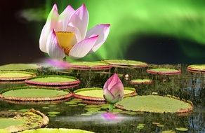 pale pink water lily with huge green leaves on the water
