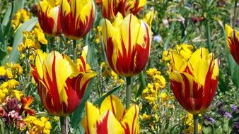 colorful yellow-red tulips close-up