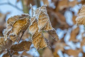 Frosted dry brown Leaves close up