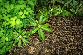 green clover leaves in spring