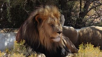 lion in nature of a south africa