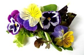 pansies at white background