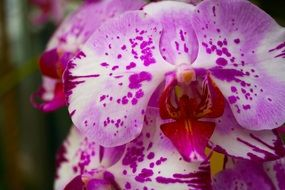 white orchid flower with pink spots