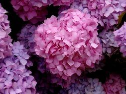 Blossoming beautiful hydrangea flowers