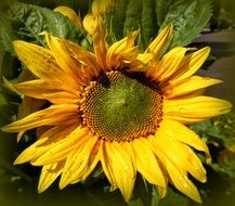 sunflower in the bright sun in summer