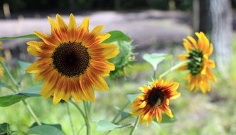 three bright decorative sunflowers