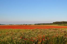 red Poppies summer Field Landscape