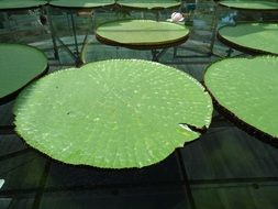 round green leaves of water lily in a pond