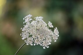 Wild Carrot blossom at blurred background