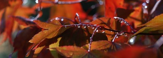 rain drops on red maple leaves, Autumn background