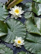 tiny Water Lily Aquatic Plant in Pond