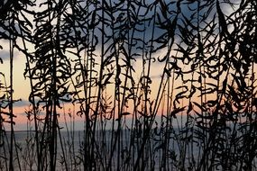 Reeds in lake constance