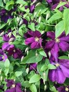 Clematis, purple Flowers, background