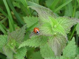 ladybug on a bush of green nettles