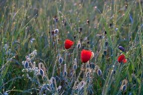 Meadow with red Poppies and water Drops
