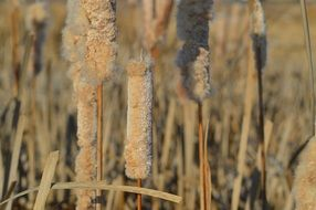 Cattails in Canada