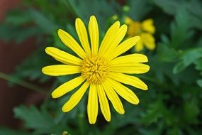 closeup of a yellow daisy