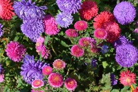 red and blue fluffy Asters