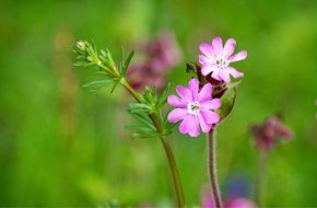 Red Campion Silene