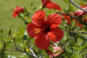 hibiscus from a family of mallow