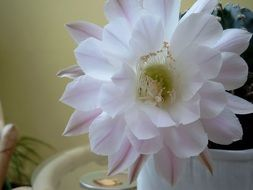 Cactus flower in a pot