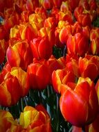 field of colorful red tulips close-up