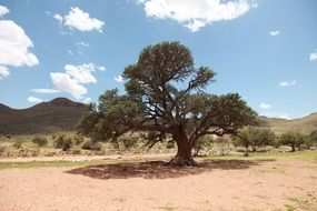big tree in africa landscape