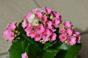 Kalanchoe with pink flowers