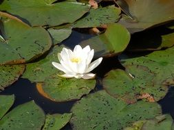 Beautiful white water lily in the pond