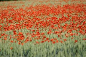 brightly colored red poppy field