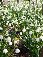 great snowdrops in spring