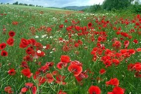 Red poppies in summer field