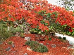 red blooming poinciana in the garden