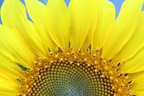 sunflower with yellow petals close-up