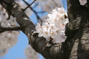 white cherry blossoms in april close up
