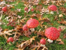 toadstools on green grass among dry leaves