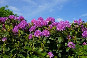 purple rhododendron as a shrub