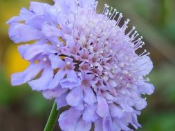 pincushion flower or Scabiosa